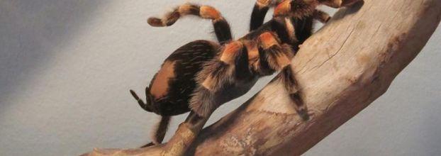 ARANEUS - -Exposição de aranhas e escorpiões vivos