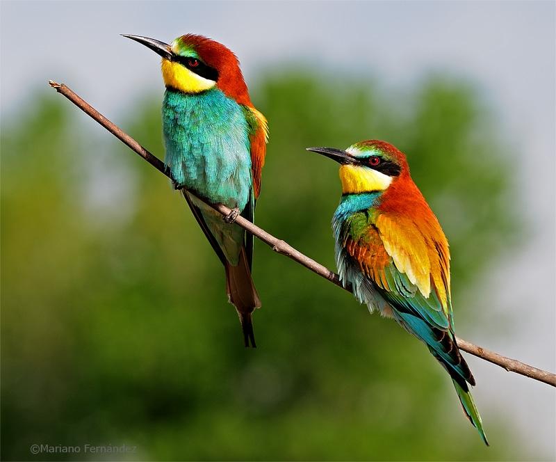 Taller de anillamiento científico de aves a cargo de Luis Lozano. CEREZO EN FLOR