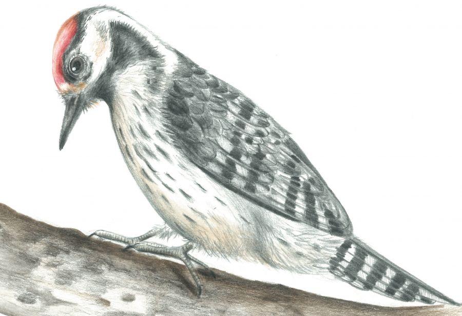 Aves ripícolas em aguarela