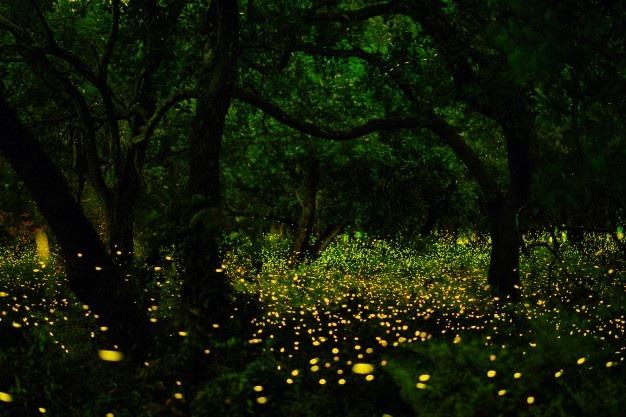 Noite de Pirilampos na Amazónia de Coz