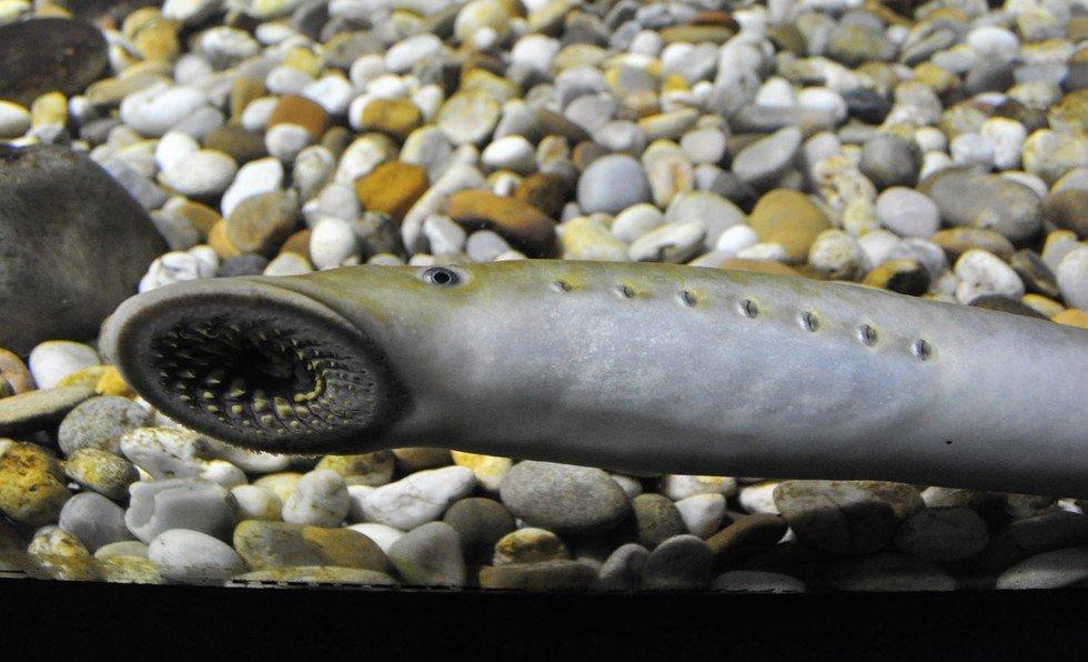 """Um trimestre um peixe – """"A lampreia"""""""