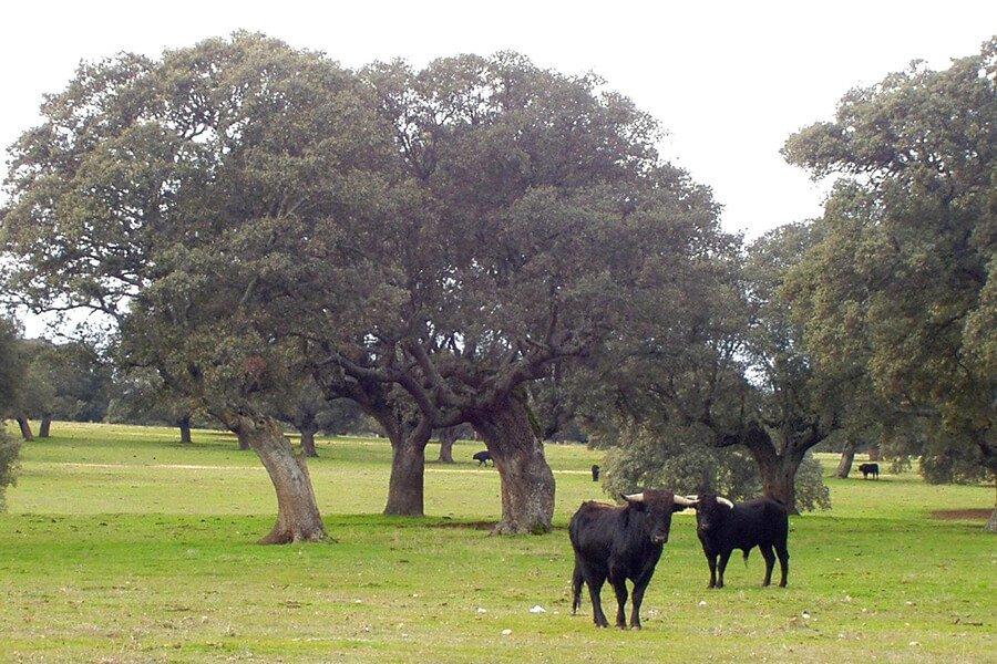 Toros y Caballos en la Dehesa
