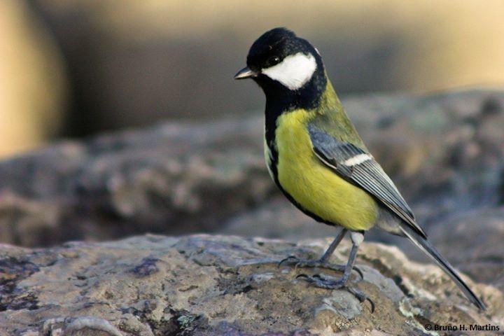 Workshop: Introdução aos Passeriformes de Portugal