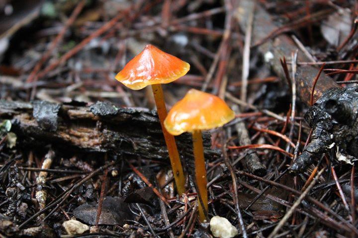 Curso básico de identificação de cogumelos silvestres - 2ª Ed.