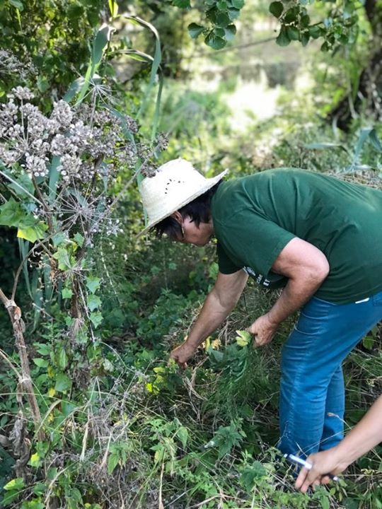 Plantas Medicinais e Ervas Silvestres Comestíveis