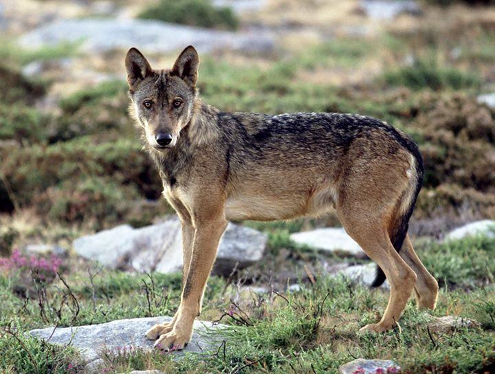 Trilho Lobo Ibérico da Serra D`Arga