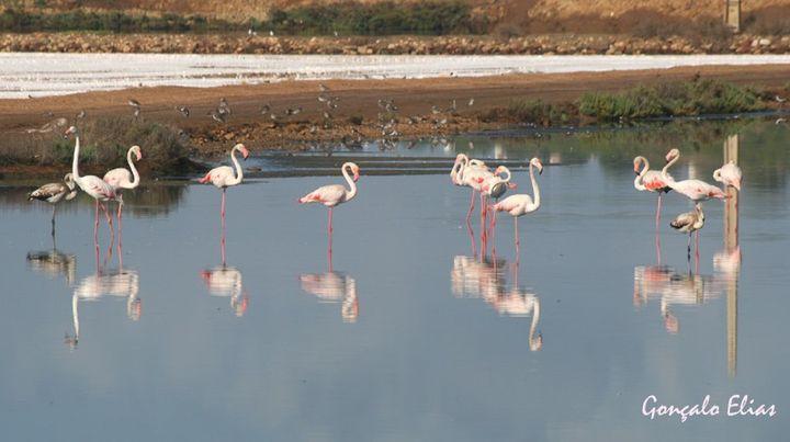 Flamingos em Portugal