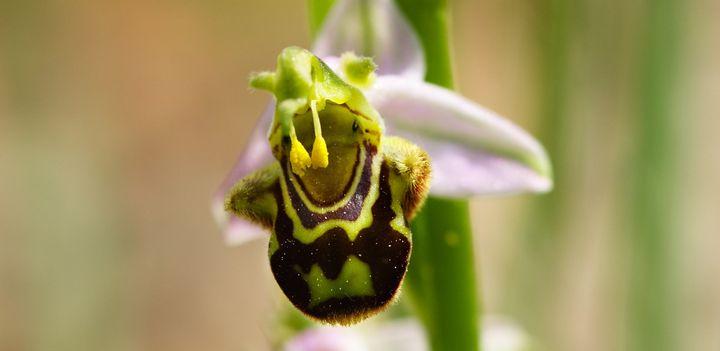 Esgotado   Webinar: Orquídeas silvestres da Arrábida