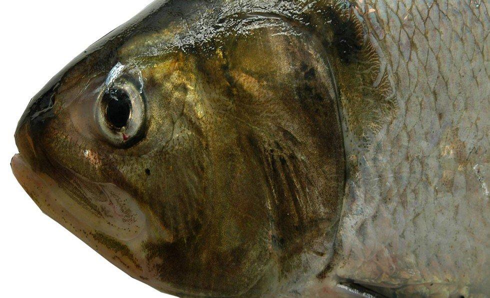 'Um Trimestre, Um Peixe - O Sável'